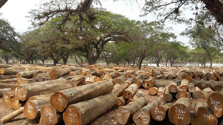 cara memilih kayu jati dan mahoni yang baik
